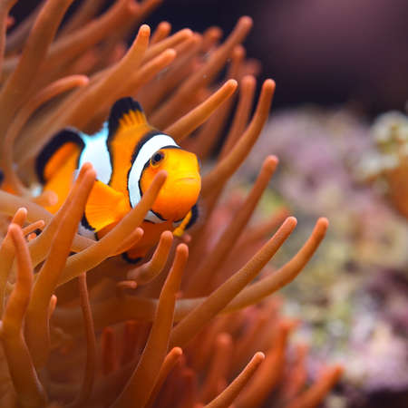 Amphiprion ocellaris clownfish in marine aquarium. Orange corals in the background. Colorful texture, wallpaper, panoramic underwater view. Concept art, graphic resources, macro photography, wildlife