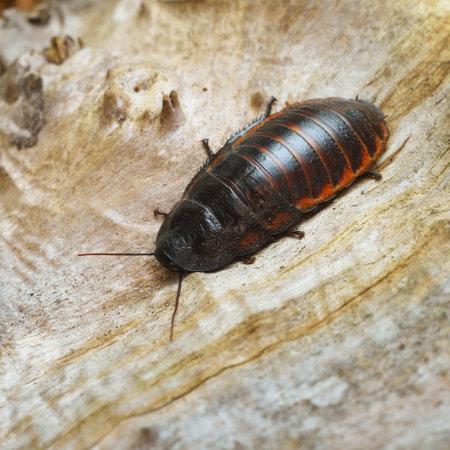 Black giant madagascar hissing cockroach in natural environment. Princisia vanwaerebeki. Wildlife, biology, zoology, entomology, insects, nature, science, education, zoo laboratory Stock fotó