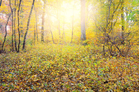 Panoramic view of the autumn forest. Mighty trees, moss. Green, orange, yellow, golden leaves. Sunlight. Idyllic landscape. Loire, France. Seasons, nature, environmental conservation, ecotourism