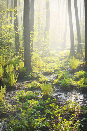Northern evergreen forest in a morning fog. Mighty pine trees, plants, fern. Pure sunlight, sunbeams Idyllic spring landscape. Ecology, ecosystems, environmental conservation, ecotourism Stock Photo