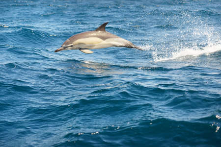 Two dolphins jumping in the Mediterranean sea on a clear day, the striped dolphin (Stenella coeruleoalba) close-up. Waves, water splashes. A view from the sailing boat. Spain. Recreation, cruise