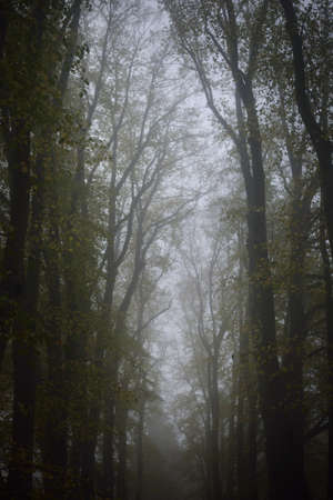 Low angle shot of mighty linden trees, thick morning fog. Alley, walkway in a city park. Natural tunnel. Mysterious autumn landscape. Nature, seasons, environment. Silence, loneliness concepts