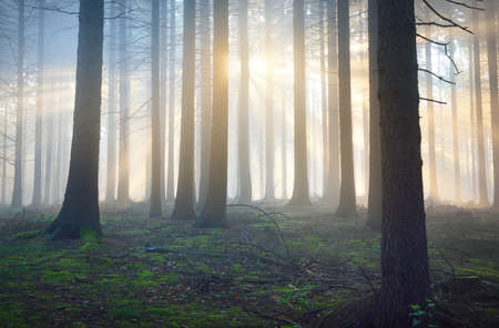 Panoramic view of the majestic evergreen forest in a morning fog. Mighty pine tree silhouettes. Atmospheric dreamlike summer landscape. Sun rays, mysterious blue light. Nature, fantasy, fairytale Reklamní fotografie