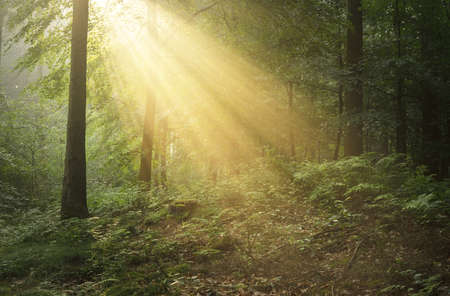 Panoramic view of majestic green deciduous and pine forest in a morning fog. Tree silhouettes. Sun rays, pure sunlight. Atmospheric dreamlike summer landscape. Nature, ecology, fantasy, fairytale Standard-Bild