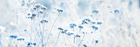 Forest floor of dry plants in a hoarfrost, close-up. Morning fog. Sunny winter day. Seasons, climate change, ecology, botany. Natural blue and white background. Macrophotography, copy space, panorama