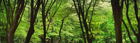 Veluwe national park, the Netherlands. Mighty deciduous beech trees, tree trunks, green leaves. Spring forest. Soft sunlight. Picturesque panoramic scenery. Nature, ecology, environment, ecotourism Archivio Fotografico