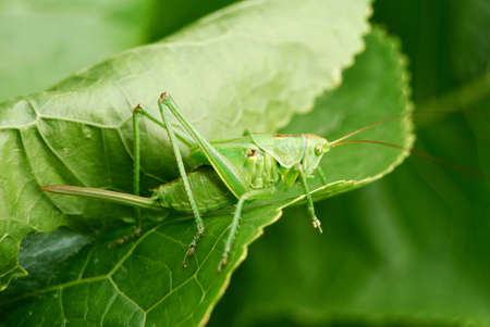 green grasshopper on the leaf