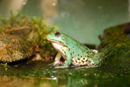 European common green frog in terrarium Stock Photo