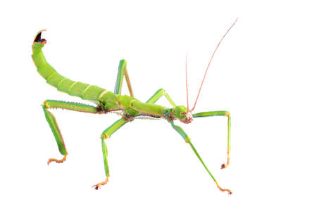 green stick insect Diapherodes gigantea isolated Banque d'images