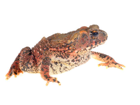 Bony-headed toad Ingerophrynus galeatus isolated on white Stock Photo