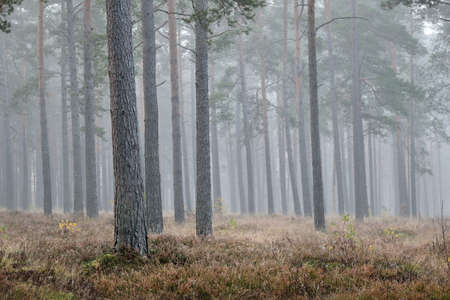 Strong morning fog in the forest Reklamní fotografie