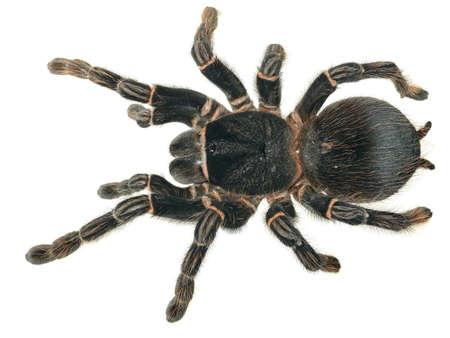 giant tarantula Lasiodora parahybana isolated