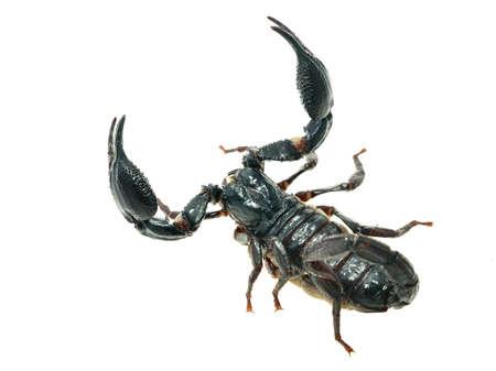 Large black scorpion Heterometrus laoticus isolated Banque d'images