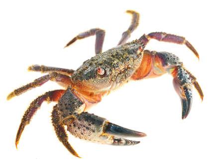 colorful stone or warty crab Eriphia verrucosa isolated Archivio Fotografico