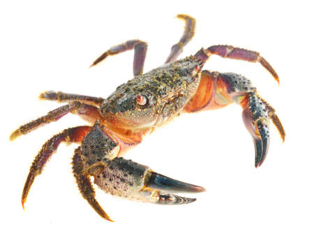colorful stone or warty crab Eriphia verrucosa isolated Stockfoto