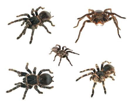 Spider compilation. giant tarantula Lasiodora parahybana, tarantula Acanthoscurria geniculata, tarantula Phormictopus platus and black curly-hair tarantula Brachypelma albopilosum isolated on white