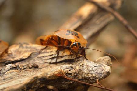 giant cockroach Blaberus giganteus in terrarium