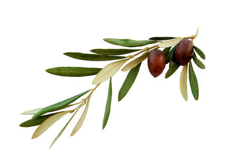 Olive branch with green leaves and two olives on a white background. Isolated. photo