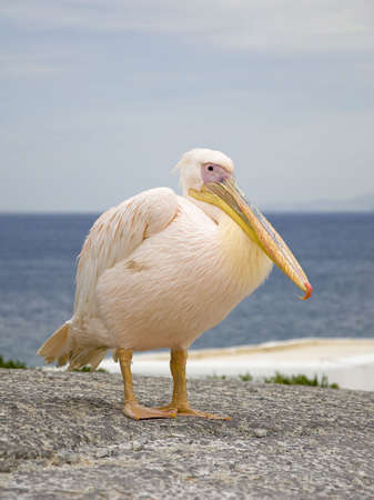 White Pelican in the background of the sea and clouds