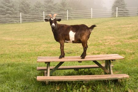 Goat on picnic table photo