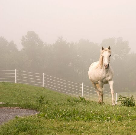 gait: White Horse Coming Out of Mist Stock Photo