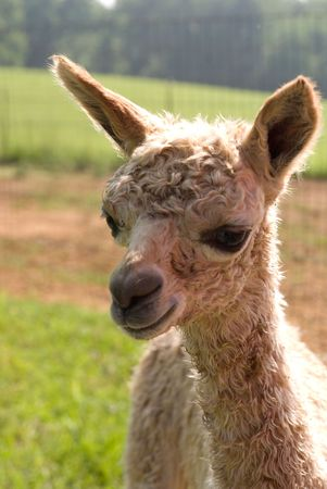alpaca: Alpaca cria Stock Photo