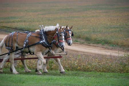Draft horses pulling cart