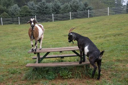 Goats on picnic table photo