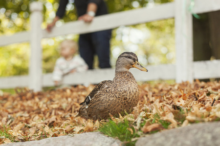 Mallard duck at park with family in background LANG_EVOIMAGES