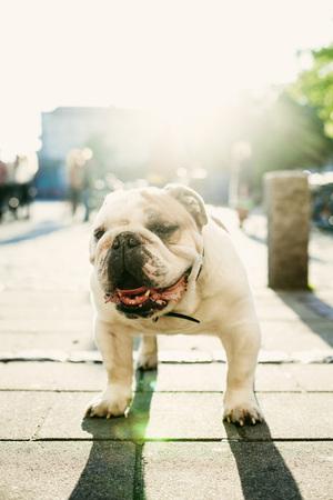 Portrait of English Bulldog on sidewalk LANG_EVOIMAGES