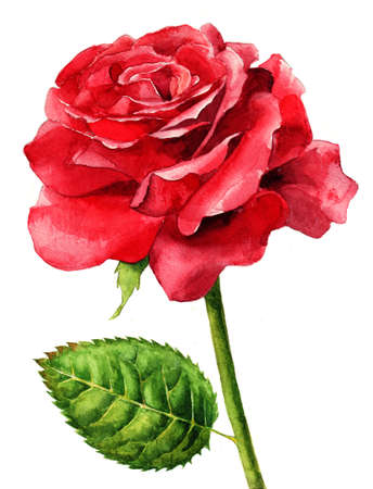 Single red rose, hand painted with watercolours Stok Fotoğraf