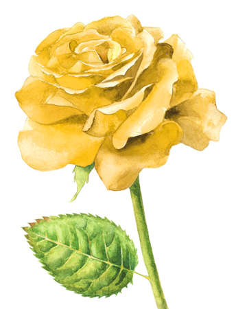 Single yellow rose watercolour painting