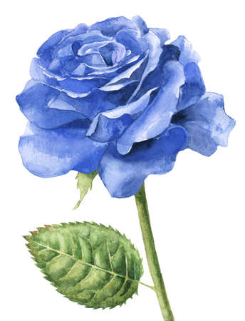 Single blue rose watercolour painting Stok Fotoğraf