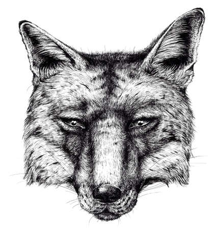 Ink Drawing of a fox head Stok Fotoğraf
