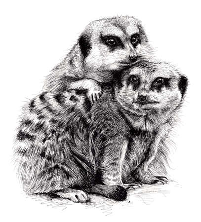 insectivores: Ink Drawing of a pair of Meerkats huddling together. Stock Photo