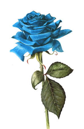 blue rose: Hand painted single blue rose Stock Photo