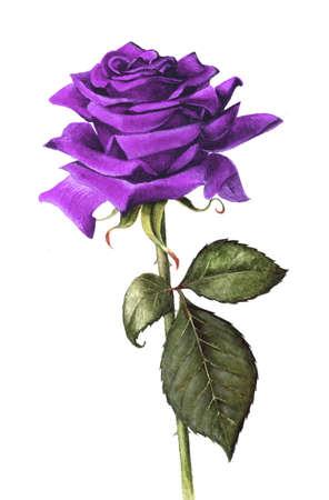 purple rose: Hand painted single purple rose Stock Photo