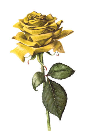 horticulture: Hand painted single yellow rose. Stock Photo