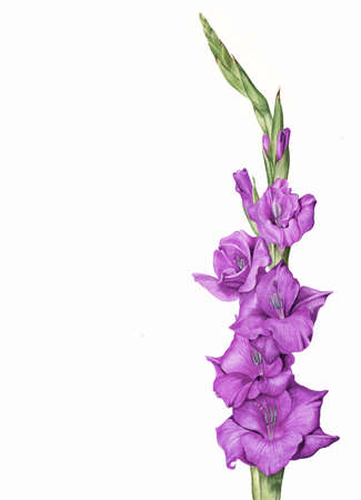 Hand painted botanical illustration - purple gladiola flower