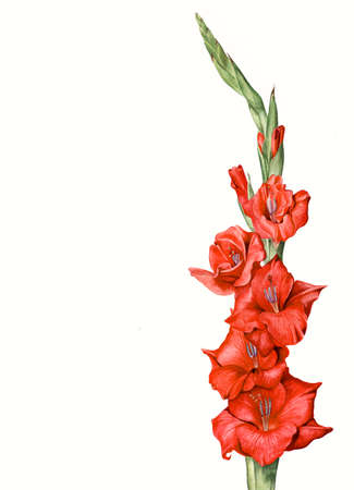 Hand painted botanical illustration - red gladiola flower Stok Fotoğraf
