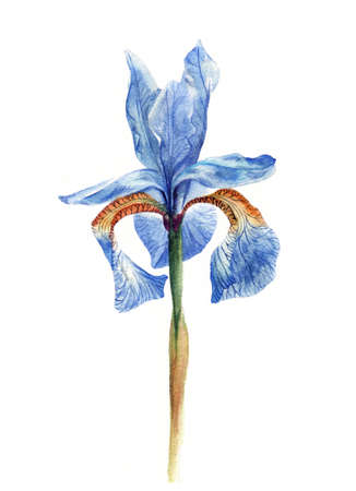 Hand painted watercolour iris.