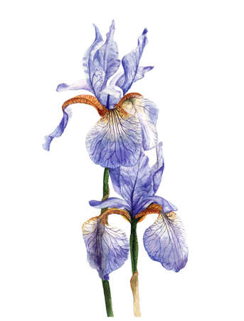 Hand painted watercolour irises. Stok Fotoğraf - 61114412