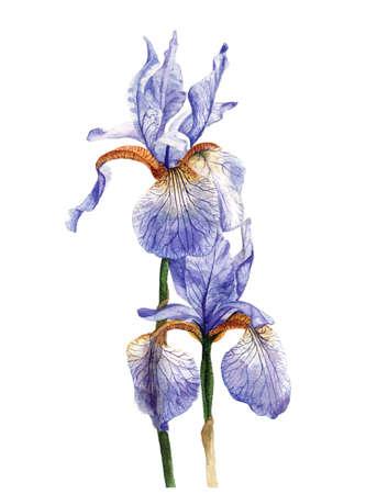 watercolour: Hand painted watercolour irises.