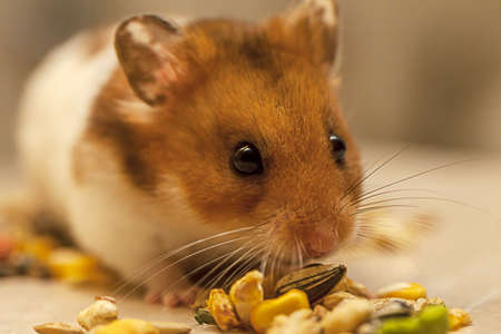 hamster: Sweet Hamster eating grains