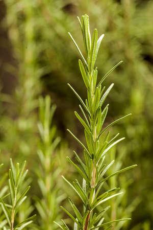 Rosemary - In The Garden 2 Stock Photo