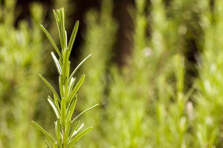 Rosemary - In The Garden 3