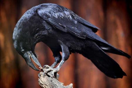 raven: Big raven on a branch Stock Photo