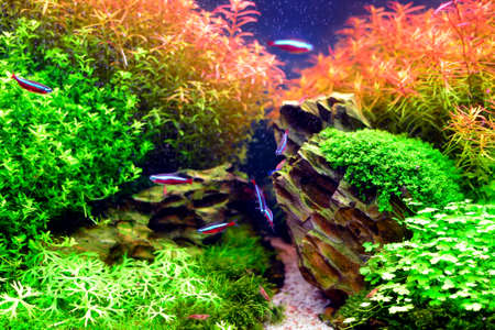 aquascaping: A beautiful professional aquarium with some rocks and many colorful plants and fish
