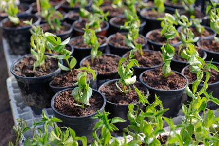 Lots of small plant saplings cultivated in a greenhouse photo