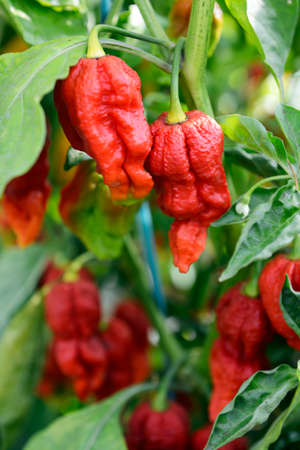 tabasco: Hot peppers ready for harvesting, cultivated in a greenhouse.